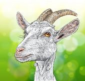 goat - a portrait - vector color drawing on a green background