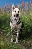 image of alsatian  - Alsatian dog at field - JPG