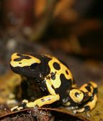 Bumble-Bee Poison Dart Frog