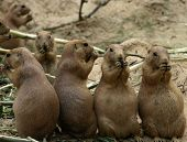 stock photo of zoo animals  - Group of four prairiedogs eating in the zoo - JPG