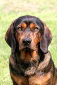 stock photo of bloodhound  - The sad dog  - JPG