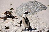 Pinquin Walking On The Beach