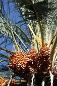 foto of tozeur  - Close up of date fruits on the date palms in the largest oasis of Tozeur in Tunisia - JPG