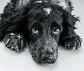 Portrait of english cocker spaniel on a white floor