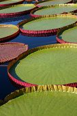 Lily platters