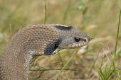 foto of harmless snakes  - Hognosed Snake with its hood puffed out - JPG