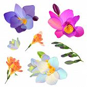 Vector Freesia Flowers And Branches For Your Design.jpg