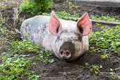 stock photo of husbandry  - dirty pig lying in the mud with dirty snout - JPG