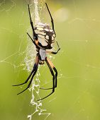Female Argiope aurantia, Writing Spider waiting for prey in her web against green summer background