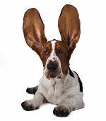 Basset raised ears