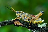 A Lubber Grasshopper