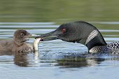 Common Loon (Gavia immer) Feeding A Fish To Its Baby