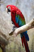 Holy Macaw