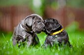 adorable cane corso puppy