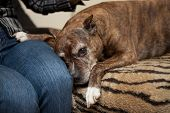foto of staffordshire-terrier  - Staffordshire Terrier at home on the couch sadness - JPG