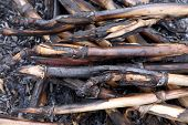 image of corn stalk  - Background of burned corn stalks - JPG