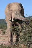 African Elephant Foraging