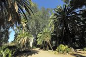 Australian Eucalypts And Date Palms