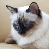 Beautiful purebred cat poster
