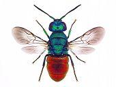 Amazing cuckoo wasp (Holopyga punctatissima)