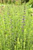 image of hyssop  - Hyssop plant in the garden - JPG