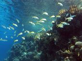 coral reef with shoal of goatfishes and hard corals at the bottom of tropical sea
