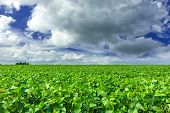 stock photo of soybeans  - Soybean field and rainy sky in the summer - JPG