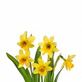 Beautiful Yellow Daffodils flowers in vase
