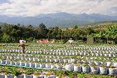 Plantation Of Strawberries