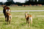 Antelopes on green grass