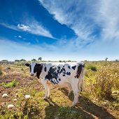 Menorca friesian cow grazing near Ciutadella Balearic Islands cattle