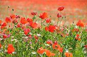 poppy seed flowering field
