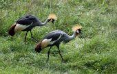 Yellow Crest Crane
