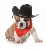 country dog - english bulldog puppy dressed up in western gear isolated on white background- 8 weeks