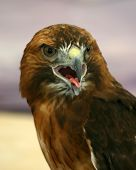 picture of small-hawk  - Close up of a hawk  - JPG