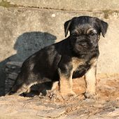 picture of border terrier  - Nice border terrier puppy standing in front of stonewall - JPG
