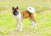 stock photo of pinto  - A profile view of a sable white and brown pinto American Akita dog standing on the grass distinctive for its plush tail that curls over his back and for the black mask - JPG