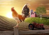 image of sun perch  - Rooster perched upon a farm fence post as the sun rises behind him - JPG