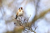 stock photo of goldfinches  - European Goldfinch resting on a tree branch - JPG