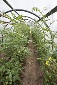 Tomato plants with unripe fruits and flowers in a small greenhouse