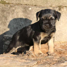 foto of border terrier  - Nice border terrier puppy standing in front of stonewall - JPG