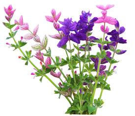 stock photo of clary  - Salvia Viridis annual clary sage spikes flower - JPG