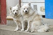 image of hairy tongue  - two beautiful hairy white dogs on Kathmandu street Nepal - JPG