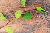 Sprig Of Far Eastern Schisandra Chinensis On Old Wooden Background.