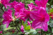 Pink azalea in right side