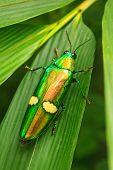 Beetle In Genus Steriocera