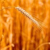 Yellow Wheat Ears