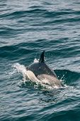 picture of gibraltar  - A Dolphin in the Strait of Gibraltar - JPG