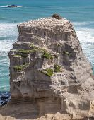 pic of gannet  - Rock with Gannet Colony in Muriwai Beach on The West Coast of The North Island Auckland New Zealand - JPG