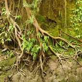 Roots Of A Tropical Tree In The Soil Eroded By Rain